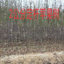 陕西渭南薄皮核桃树多少钱?挂果大樱桃树苗批发基地图片