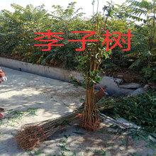 重慶賣的2年香玲核桃樹多少錢_3年香玲核桃樹批發價