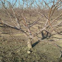 浙江舟山3年车厘子樱桃树能卖多少钱-果树批发