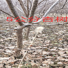 四川凉山新品种晚熟桃树哪里有买_新品种晚熟桃树育苗基地图片