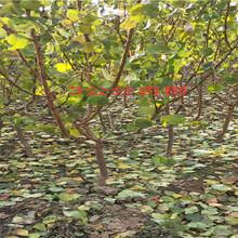 今年大果樱桃树卖多少钱、新品种大果樱桃树批发基地图片