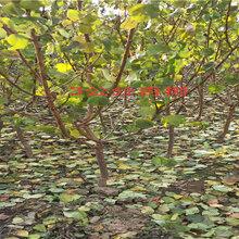 湖南益阳新品种晚熟桃树能卖多少钱-果树批发
