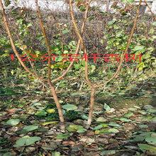 江西撫州賣的2年春麗桃樹多少錢_3年春麗桃樹批發價