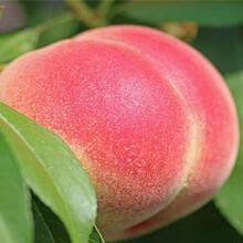 山东济南卖的香玲核桃树多少钱、新品种香玲核桃树苗怎么批发图片