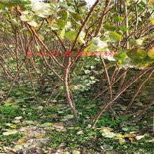 廣西百色賣的2年春麗桃樹多少錢_3年春麗桃樹批發價
