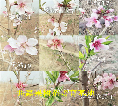 天津塘沽新品种草莓苗价格、脱毒草莓种苗卖多少钱一棵