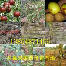安徽马鞍山黄金密桃树苗基地卖啥价格、果树苗哪里有售图片