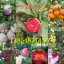 云南昭通晚熟李子树基地卖啥价格、果树苗哪里有售图片