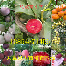 湖南张家界大红枣树苗基地卖啥价格、果树苗哪里有售图片