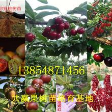 广东东莞枣树苗基地卖啥价格、果树苗哪里有售图片