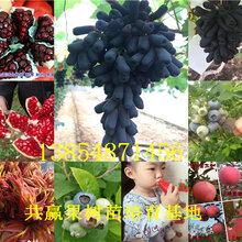 廣西玉林血桃樹苗基地賣啥價格、果樹苗哪里有售