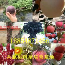 浙江温州大樱桃树苗出售价钱、2年大樱桃树苗哪里才卖图片