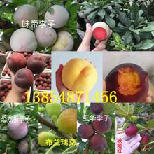 甘肃金昌晚秋梨树基地卖啥价格、果树苗哪里有售图片