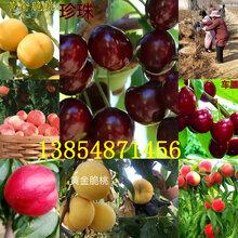 廣東揭陽大櫻桃樹基地賣啥價格、果樹苗哪里有售