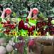 內蒙古包頭柿子樹苗出售價錢、2年柿子樹苗哪里才賣