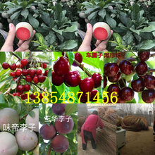 河北邢臺冬桃樹苗基地賣啥價格、果樹苗哪里有售