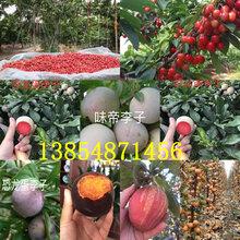 湖北黃岡油蟠桃樹苗基地賣啥價格、果樹苗哪里有售