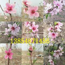 安徽池州黑桃樹苗基地賣啥價格、果樹苗哪里有售