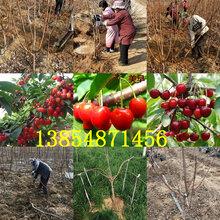 山東濱州晚熟桃樹苗基地賣啥價格、果樹苗哪里有售