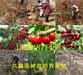 浙江宁波红油香椿树苗基地卖啥价格、果树苗哪里有售