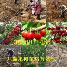 河南安陽晚秋梨樹基地賣啥價格、果樹苗哪里有售