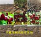 福建南平花椒树苗出售价钱、2年花椒树苗哪里才卖