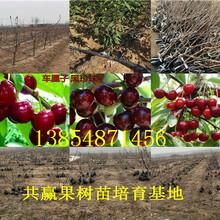 云南保山玉露香梨树基地卖啥价格、果树苗哪里有售图片