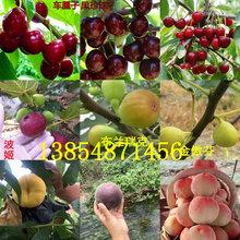 內蒙古赤峰晚熟梨樹基地賣啥價格、果樹苗哪里有售