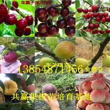 安徽铜陵西梅李子树苗基地卖啥价格、果树苗哪里有售图片