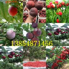 江苏南京嫁接李子树苗基地卖啥价格、果树苗哪里有售图片