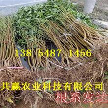 新品種桃苗哪里有賣、2年晚熟桃樹苗主產區價格