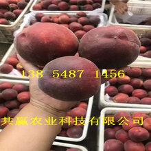 四川甘孜10月成熟桃苗基地賣啥價格、桃樹苗哪里有售