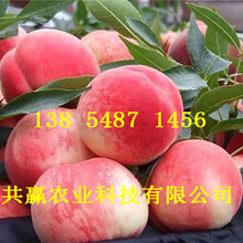 重庆高新区10月成熟桃苗基地卖啥价格、桃树苗哪里有售图片