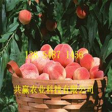 山西長治桃樹基地價錢、血桃樹苗哪里有賣