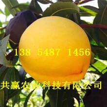 湖北仙桃桃树基地价钱、5月成熟桃苗哪里有卖图片