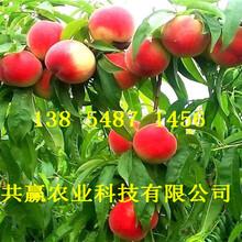广东汕尾桃树基地价钱、血桃树苗哪里有卖图片