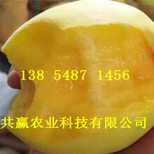 云南普洱桃树基地价钱、8月成熟桃苗哪里有卖图片