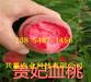 广西梧州桃树基地价钱、5月成熟桃苗哪里有卖