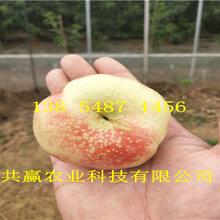 海南三亞嫁接桃樹苗基地賣啥價格、桃樹苗哪里有售