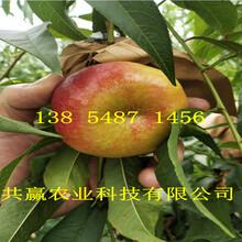 广东河源秋彤桃树苗基地卖啥价格、桃树苗哪里有售图片