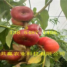 湖南醴陵血桃樹苗基地賣啥價格、桃樹苗哪里有售