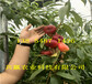 2年8月成熟桃苗育苗基地、桃樹苗種植介紹