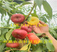 福建武夷山桃树基地价钱、8月成熟桃苗哪里有卖