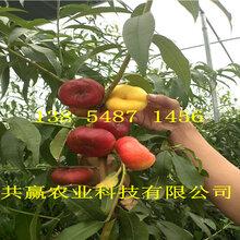 四川德陽桃樹基地價錢、早熟桃樹苗哪里有賣