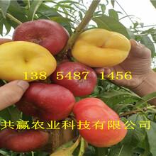 湖北武汉蟠桃树苗基地卖啥价格、桃树苗哪里有售图片