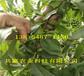 新品種桃苗哪里有賣、2年黃金密桃樹苗種植基地報價