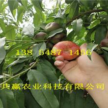新品种桃苗哪里有卖、挂果血桃树苗送货报价图片