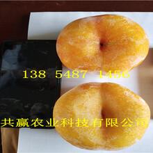 新疆阿泰勒5月成熟桃苗基地卖啥价格、桃树苗哪里有售图片