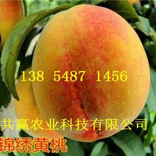 黑龍江齊齊哈爾黃金密桃樹苗基地賣啥價格、桃樹苗哪里有售