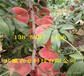 內蒙古包頭桃樹基地價錢、5月成熟桃苗哪里有賣